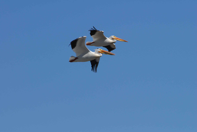 American White Pelican Pelecanus Erythrorhynchos Boreal Songbird Initiative