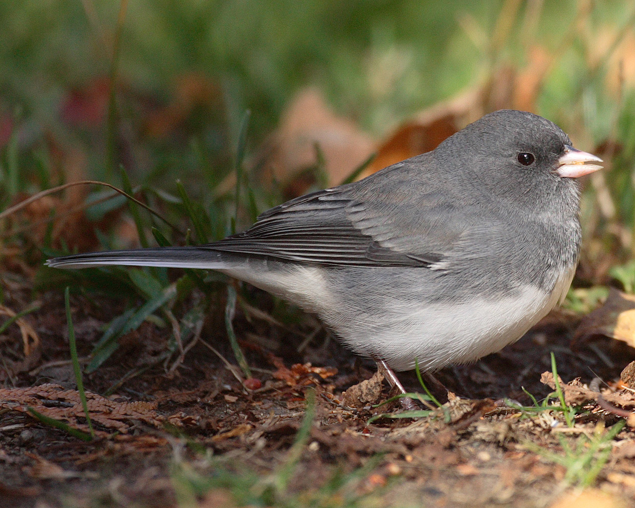 "Dark-eyed Junco ""Junco hyemalis"" 