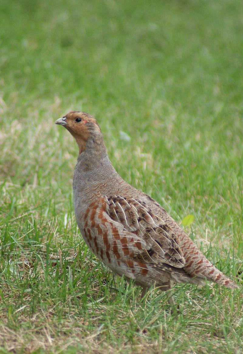 Gray partridge bird: description and photo 39