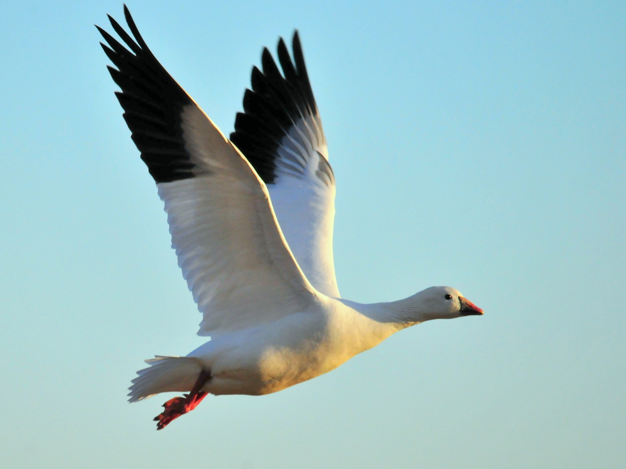 "Ross's Goose ""Chen rossii""   Boreal Songbird Initiative"