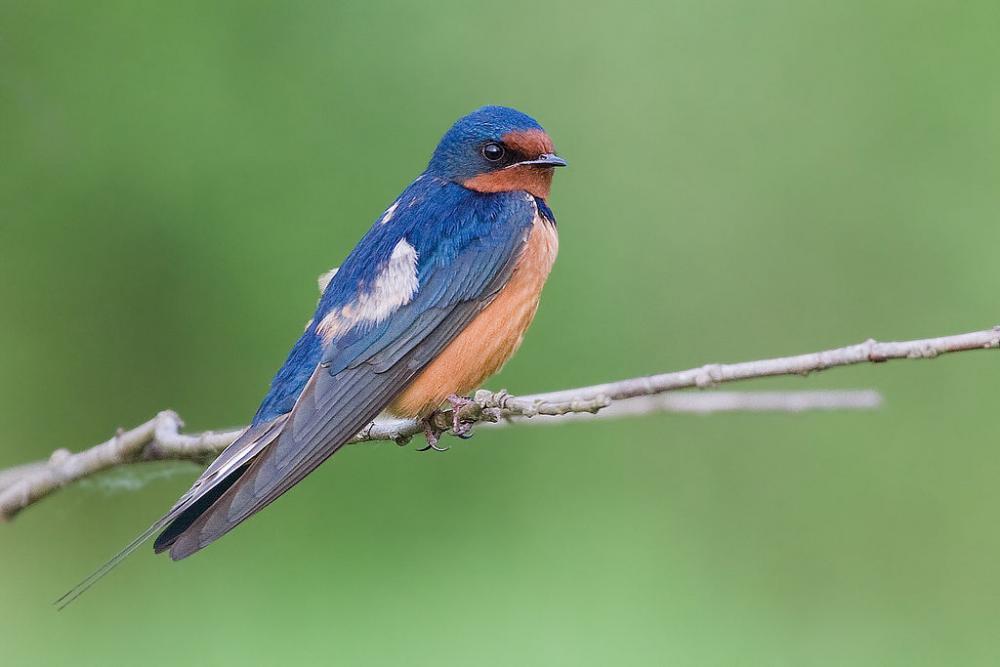 "Barn Swallow ""Hirundo rustica"" | Boreal Songbird Initiative"