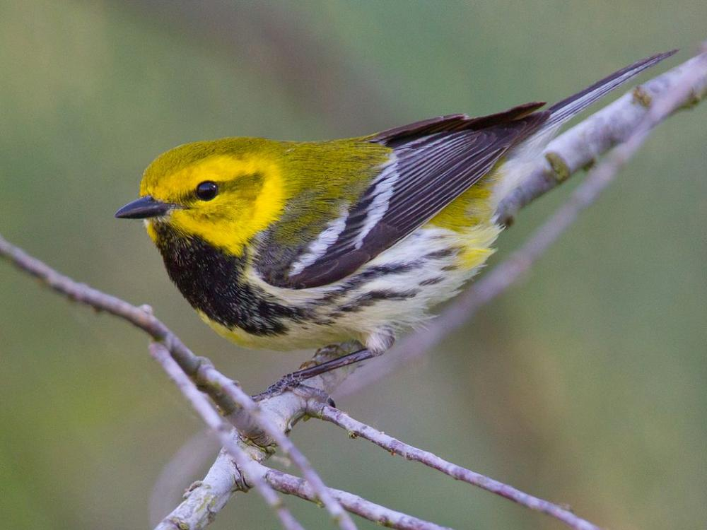 Black Throated Green Warbler Quot Dendroica Virens Quot Boreal
