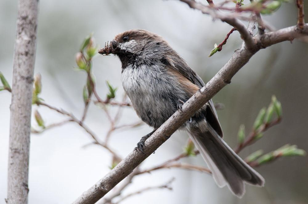 Boreal Chickadee Quot Poecile Hudsonica Quot Boreal Songbird