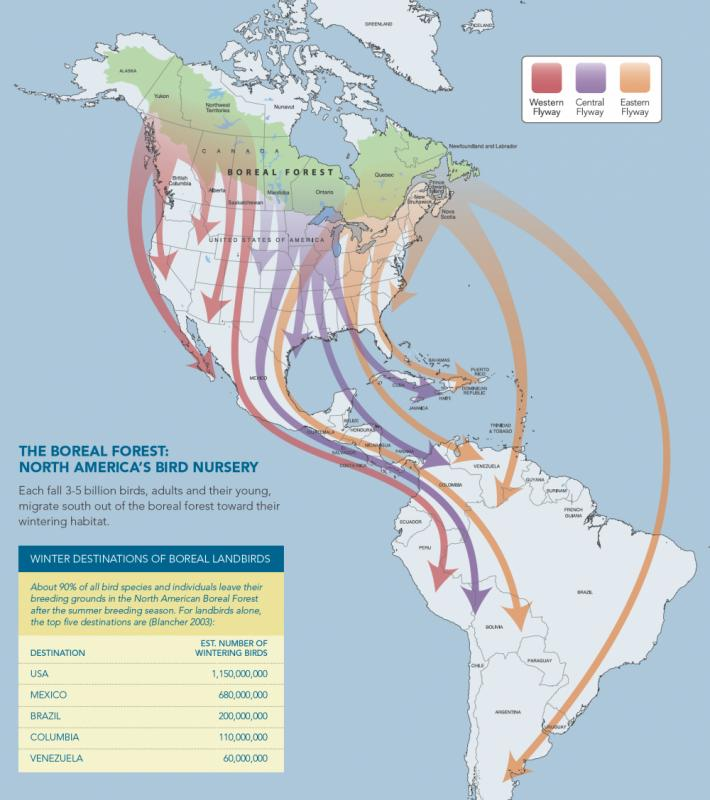 Us Bird Migration Map Migratory Boreal Birds' Distant Destinations | Boreal Songbird